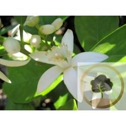 Agua extraída de la flor de azahar