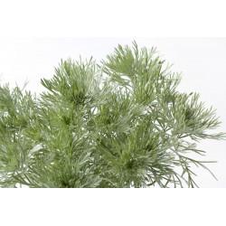 Plante Armoise ou CHIH