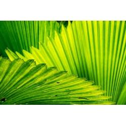 Polen de palma