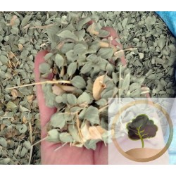 Ziziphus Blätter (Sidr)