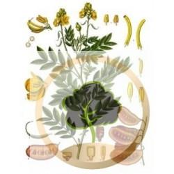 Tisane avec des feuilles de séné