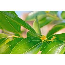 Buy our 500g of Zizyphus leaves (Sidr) best quality lower price